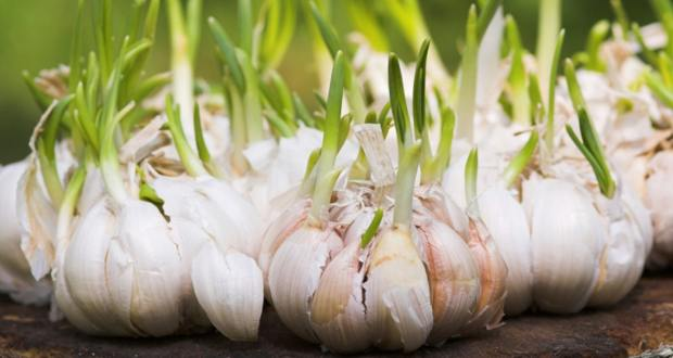 After Reading This You Will Never Throw Sprouted Garlic Again!